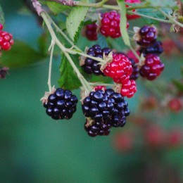 What are your favourite blackberry recipes?