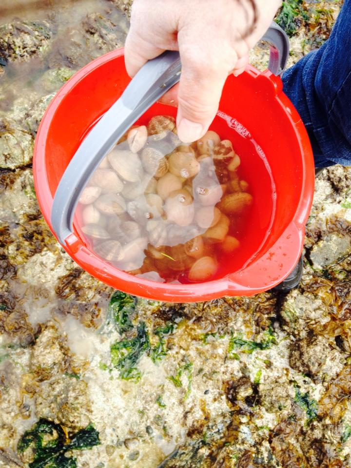 Collecting clams in a bucket for Clambake