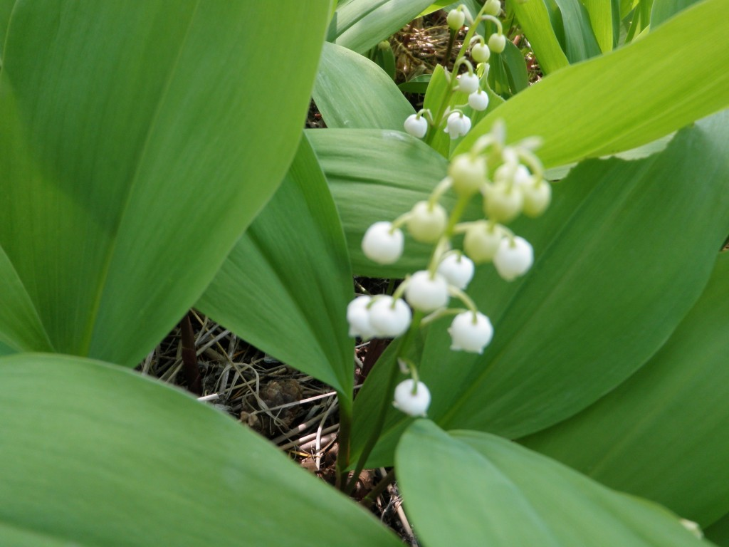Lily-of-the-Valley found in an abandoned garden in Okeover.