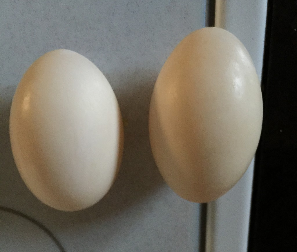 Ducks eggs