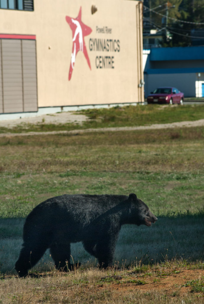 Black bear wanders past the Gymnastics Club on Joyce Ave.